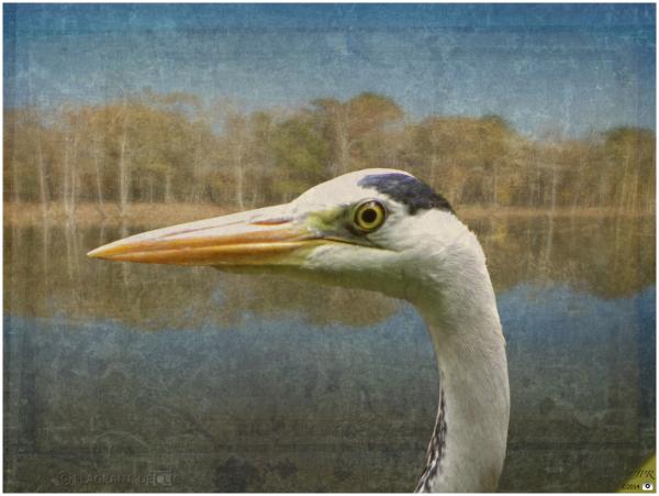 Le héron - The heron