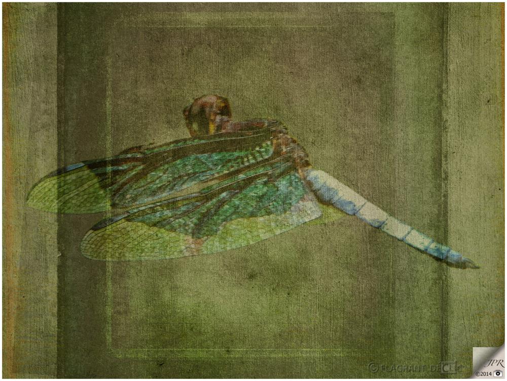 Libellule fantôme - Dragonfly ghost