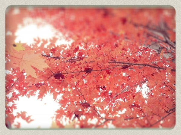 almost maroon maples