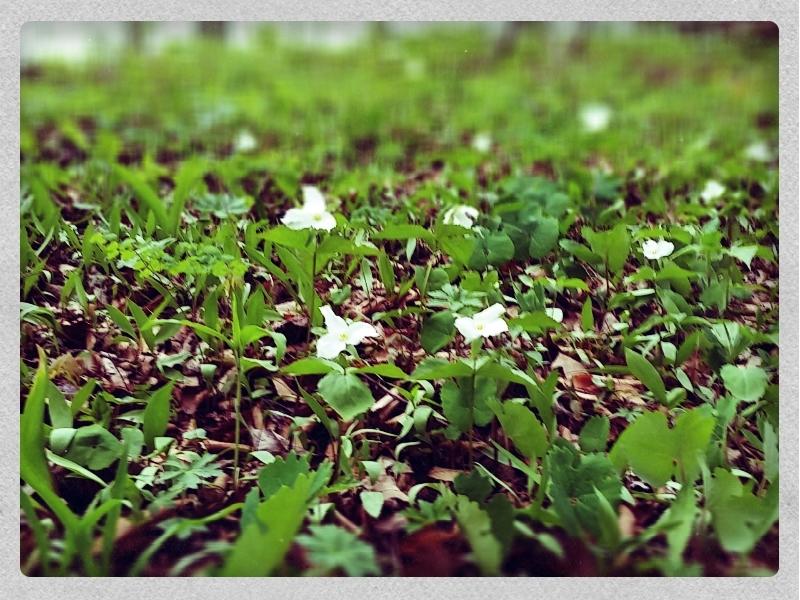 gtrilliums