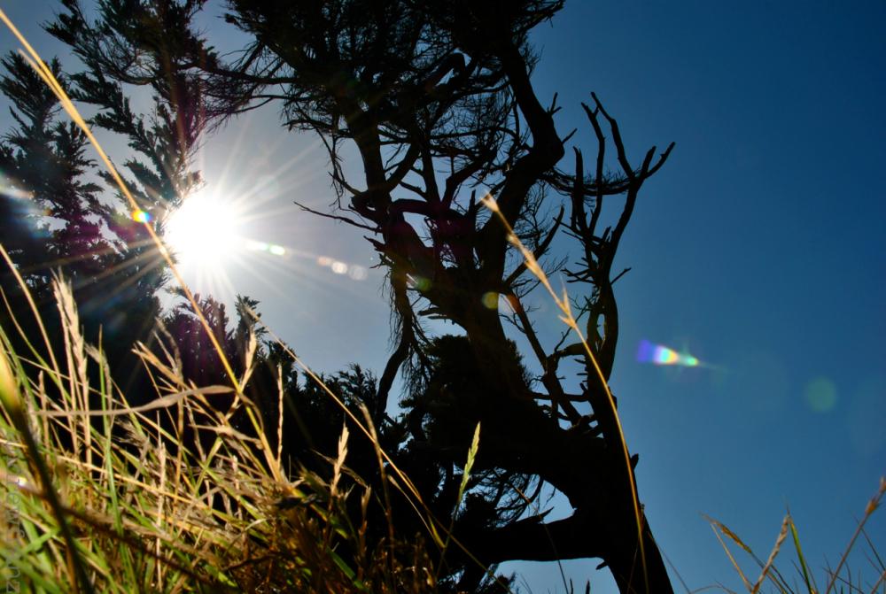 Low angle of Bodega Bay cypress tree