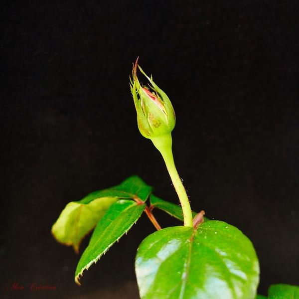 Une future rose