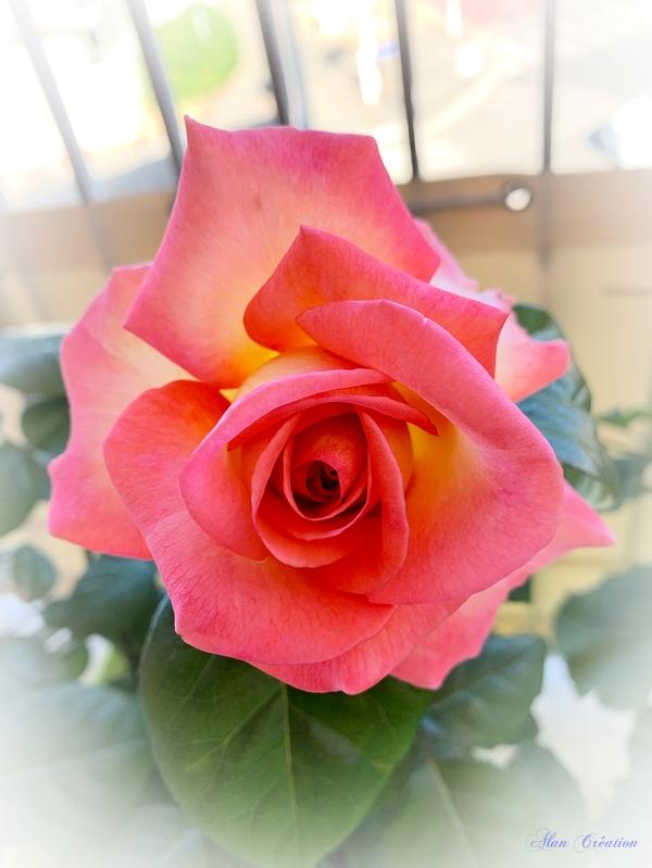 Ma première rose