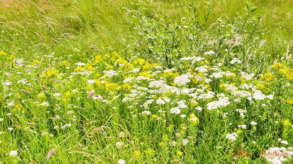 auvergne fleurs champs