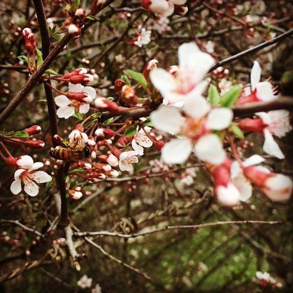 زنبور بهاری