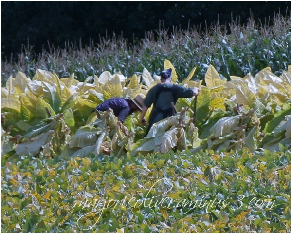 Golden Harvest ...Tobacco Time Again
