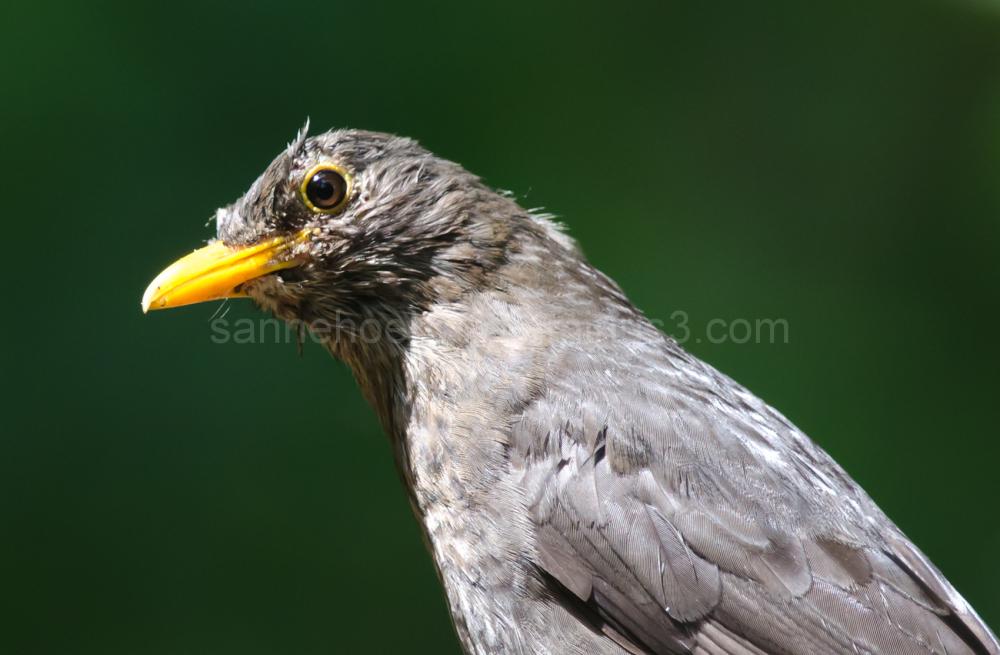 Merel, Common Blackbird, Turdus merula