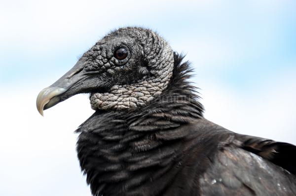 Zwarte Gier, Coragyps Atratus, Black Vulture