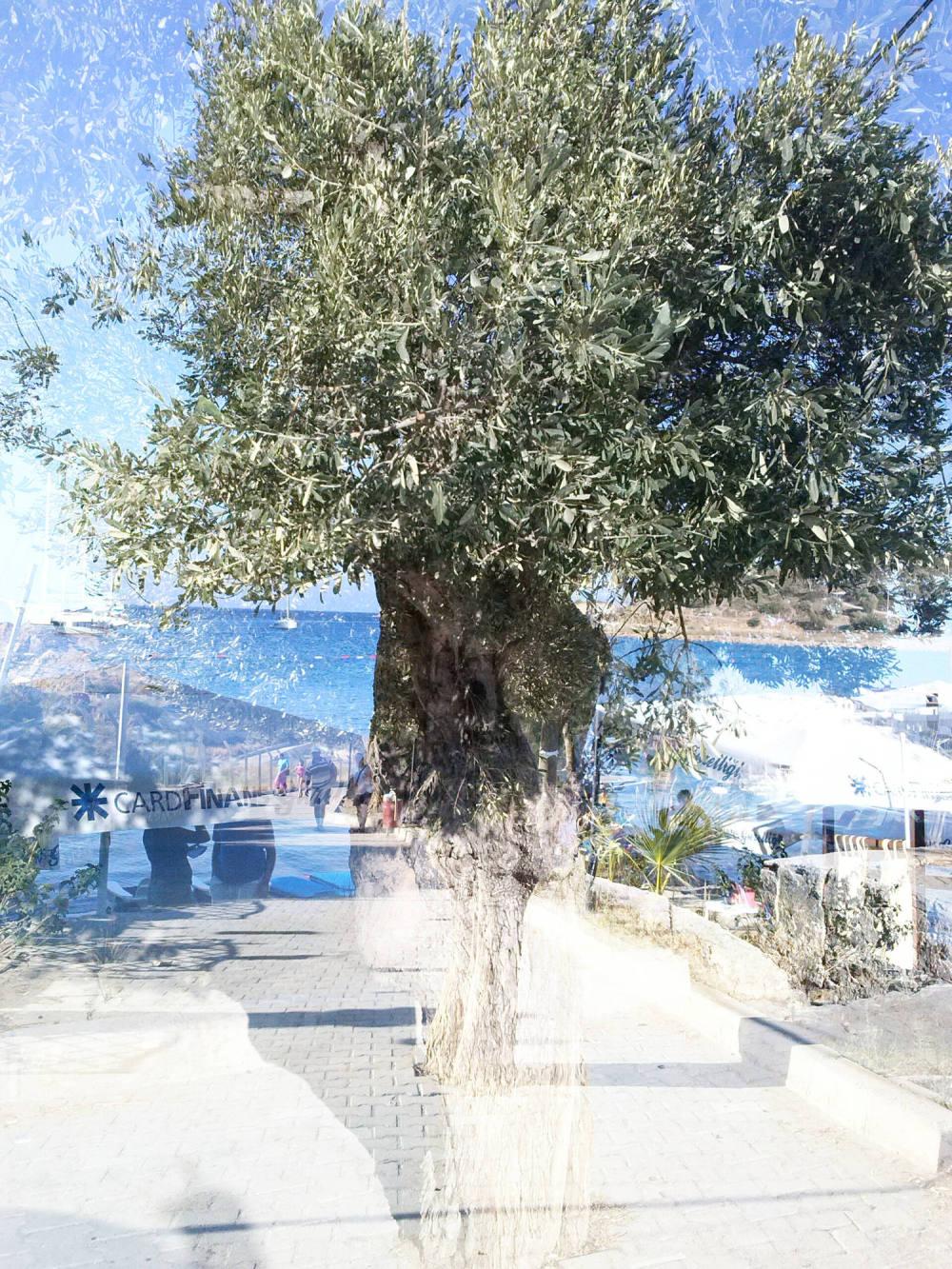 Tree trunk comparison and/or investigation, Datça.