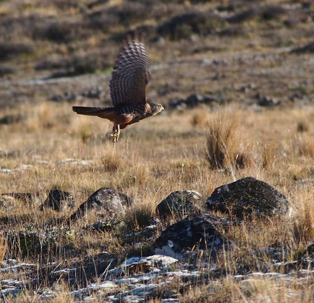 The New Zealand Kahu captured in the High Country