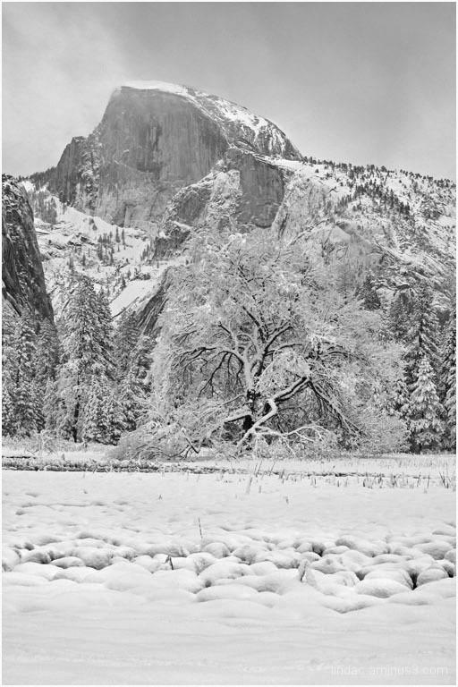 Half Dome & Elm Tree, Yosemite