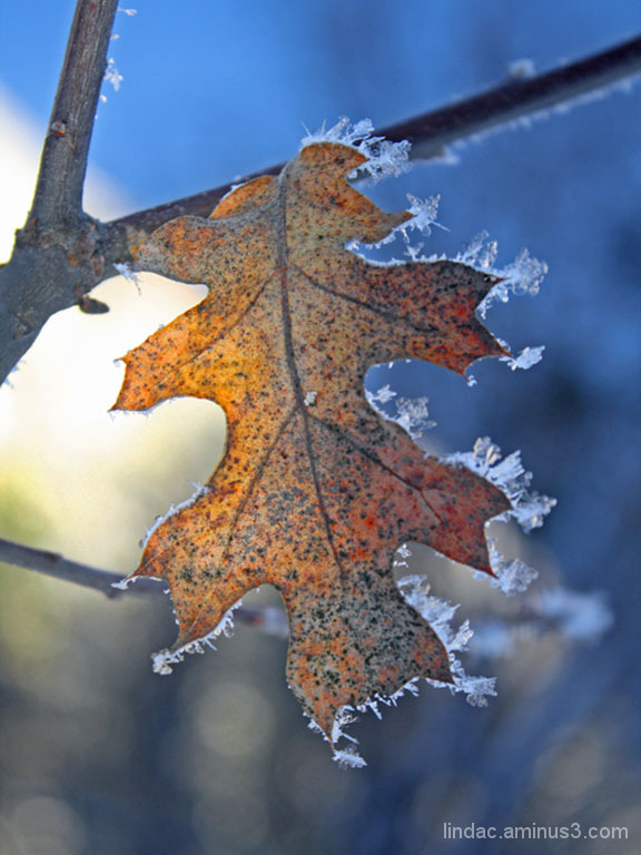 Frosted Leaf, Yosemite