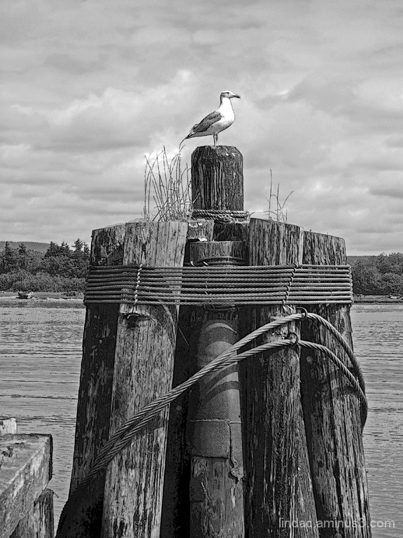 Seagull Waiting for His Fish, Coos Bay, Oregon
