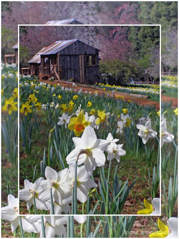 Daffodil Hill in Bloom