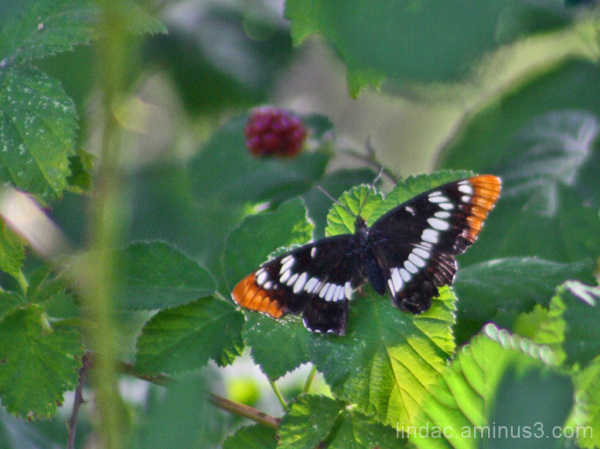 Berry Butterfly