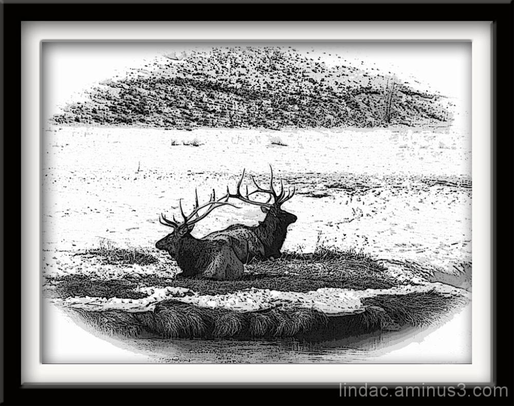 B&W of Yellowstone Elk