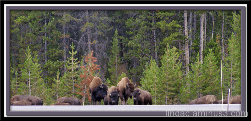 Yellowstone Buffalo