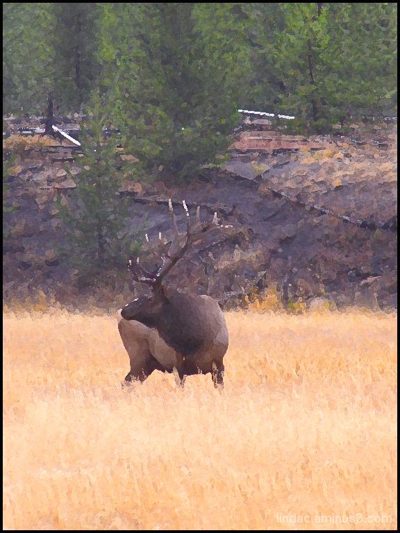 Bull Elk, Yellowsone