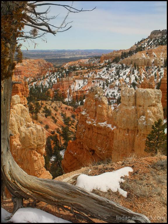 Bryce Canyon Bristlecone Pine Tree