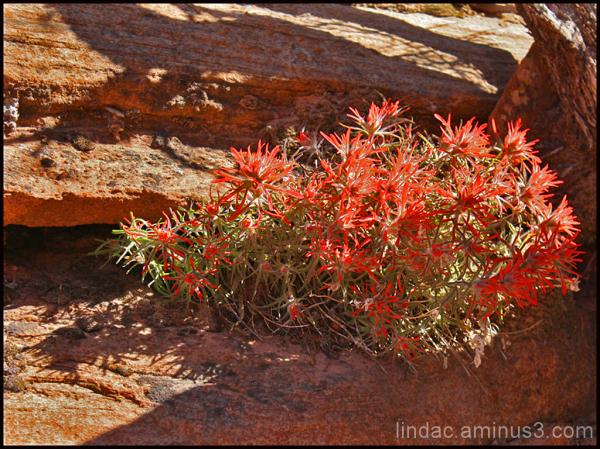 Zion Wild Flowers
