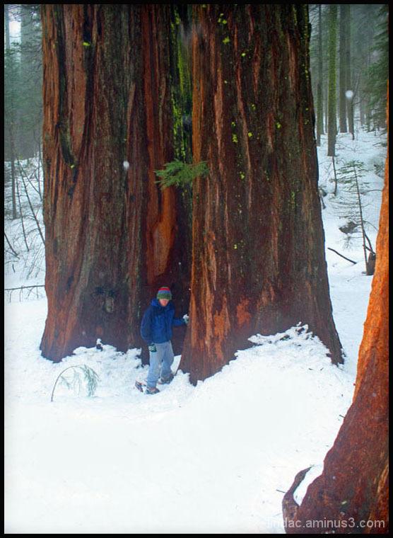Snowshoeing Merced Grove, Yosemite