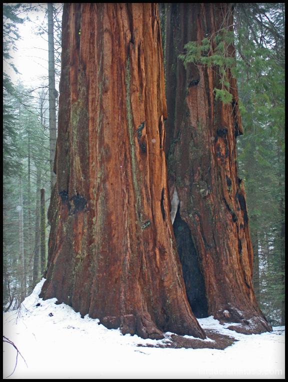 Merced Grove, Yosemite
