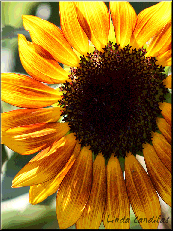 Yellow Sunflower, Colors of Fall