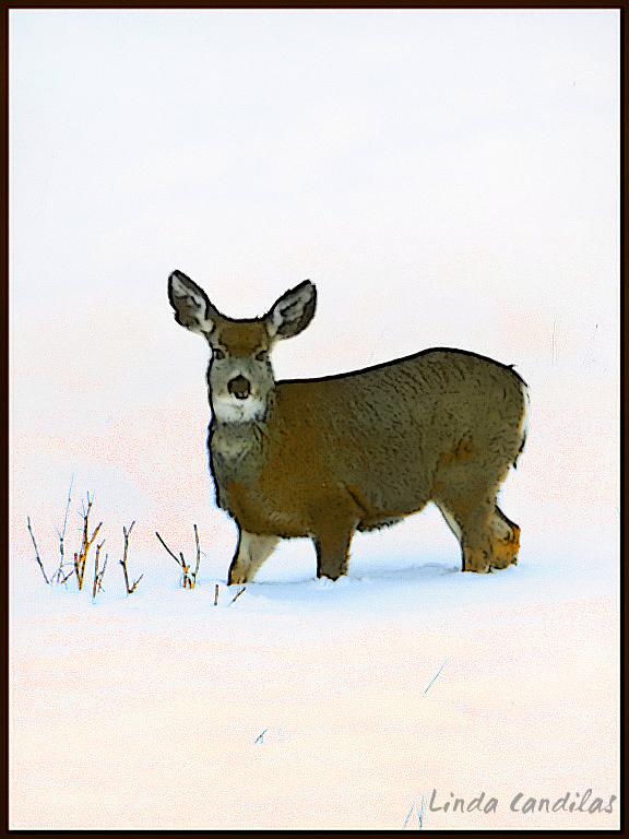 Montana Mule Deer, Standing by Himself