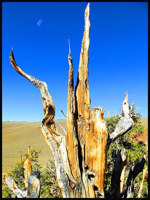 Ancient Bristlecone Pine and Moon