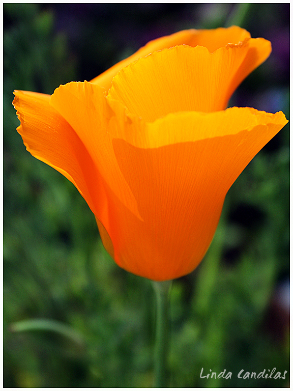 The Color of Spring, Poppy's 2