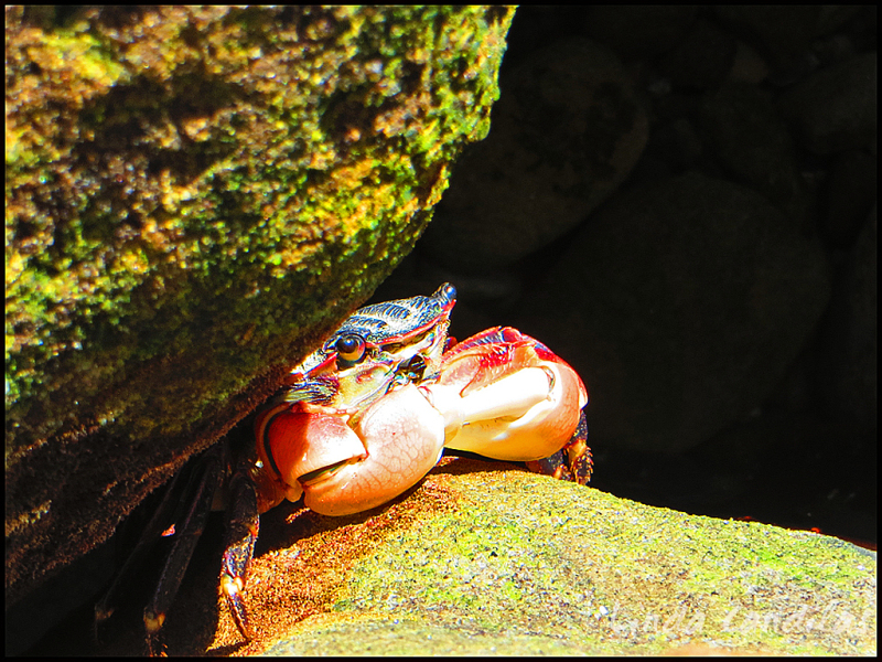Point Lobos State Natural Reserve Crab