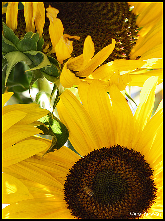 Sunflowers in the Sun