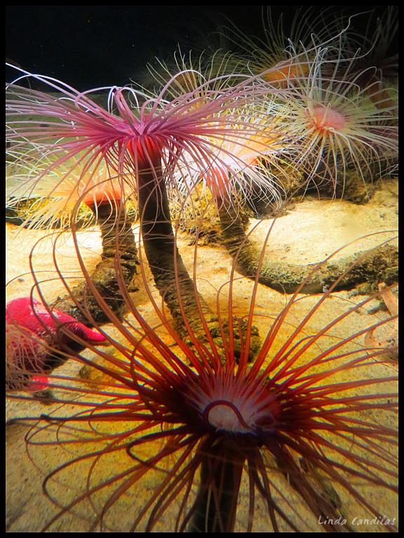 Monterey Aquarium Sea Anenomes