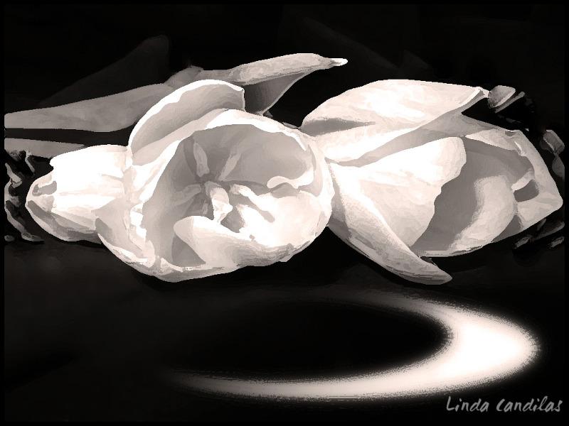 Black & White Tulips