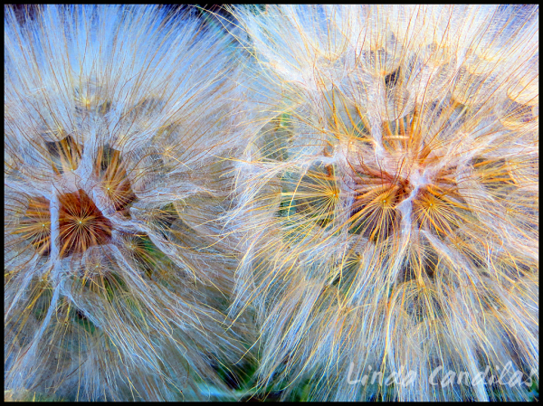 The Softness of Dandelions