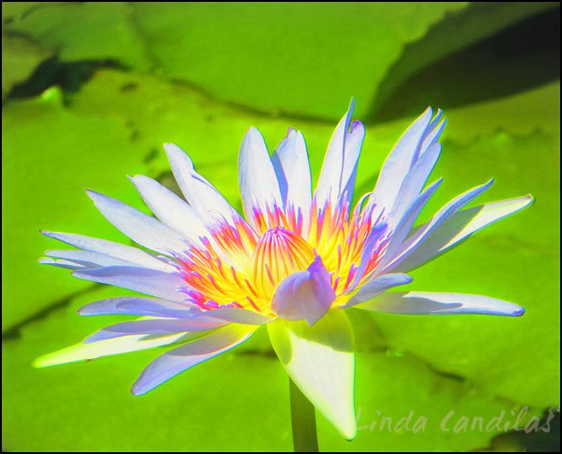 Hawaii Lily