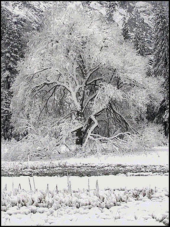Winter Elm Tree