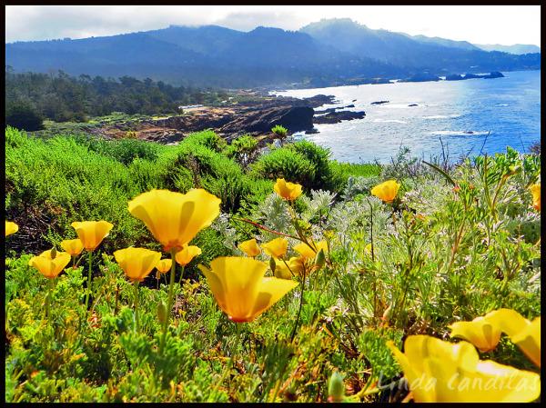 Wild Poppy's,  Point Lobos