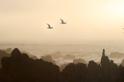SeaGulls in the Fog