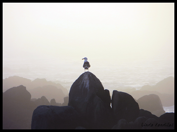 Lost Seagull, Monterey