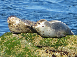 Monterey Bay Harbor Seals