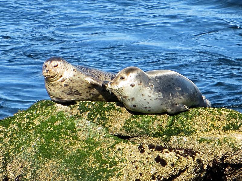 Monterey Bay Harbor Seals