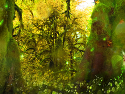 Fairy's in the Hoh Rain Forest