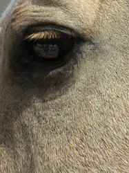 Refections in the Eye of a Horse