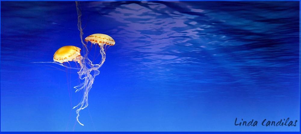 Jrlleyfish Monterey Aquarium