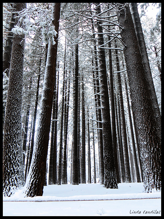 Pine Trees in the snow, Camp Richardson