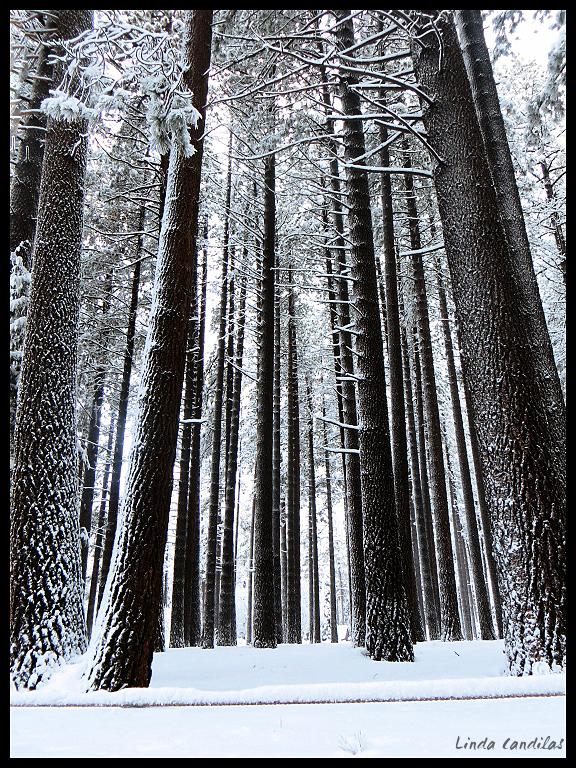 Camp Richardson Pine Trees
