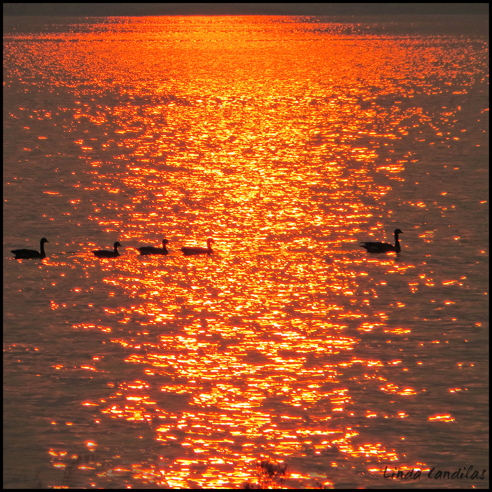 Geese Crossing Sun Reflectons