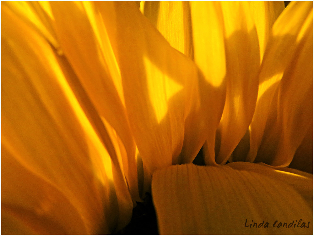 Autume Sunflower