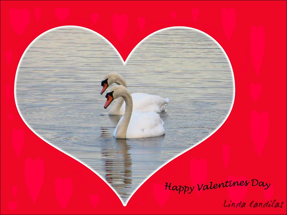 Happy Valentine's Day Swans
